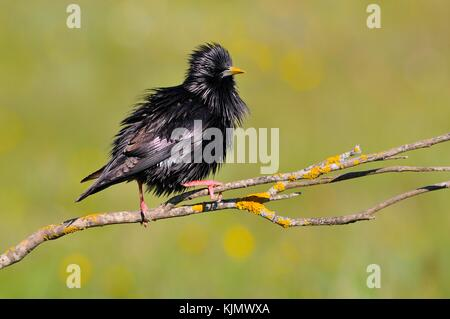 Spotless starling perched on a branch with green background. - Stock Photo