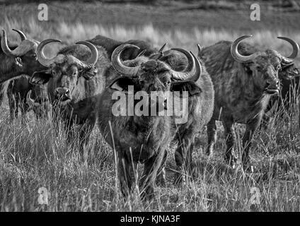 African Buffalo in Southern African savanna - Stock Photo