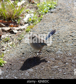 Female  Splendid Fairywren (Malurus splendens),  Splendid Wren or  Blue Wren in Western Australia  a passerine bird - Stock Photo