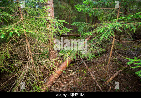 Deep forest with green spruces in summertime. Wild flora and nature of Northern Europe - Stock Photo