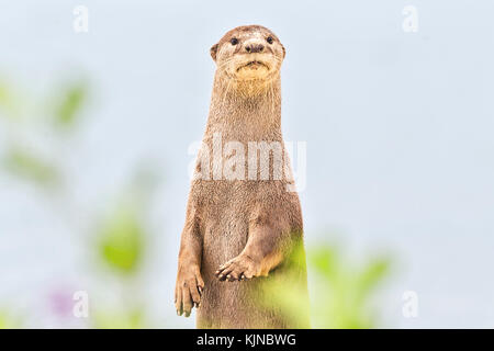 Smooth-coated otter (Lutrogale perspicillata), Singapore - Stock Photo