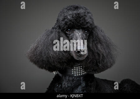 beautiful black poodle on grey background - Stock Photo