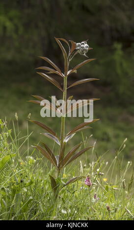 Martagon Lily, Lilium martagon in bud - Stock Photo