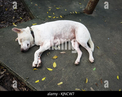 White dog wears a black collar. Peaceful sleep on the floor. The leaves are yellow around white dog. - Stock Photo