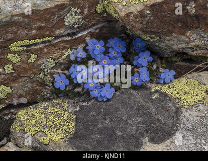 King of the Alps, Eritrichium nanum, on lichen-covered rocks in flower at high altitude in the Swiss Alps. - Stock Photo