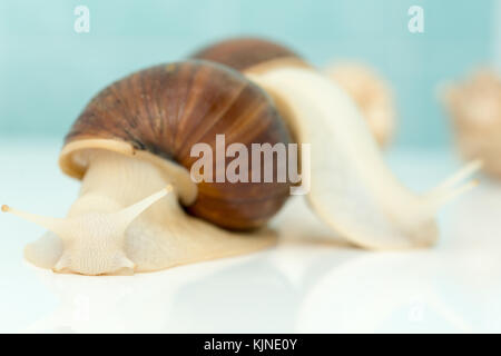 Giant snail Achatina is the largest land mollusk on Earth - Stock Photo