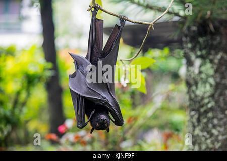 Large flying fox / large fruit bat / kalang / kalong (Pteropus vampyrus) hanging in tree, Indonesia - Stock Photo