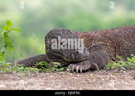 Komodo dragon / Komodo monitor (Varanus komodoensis) of the Indonesian islands Komodo, Padar and Rinca in the Komodo - Stock Photo
