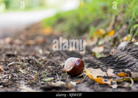a close up of a conker lying on the roadside - Stock Photo