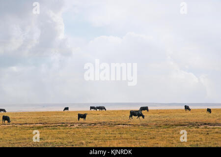 Cattle grazing on open range in eastern Colorado, USA under a large open sky. - Stock Photo