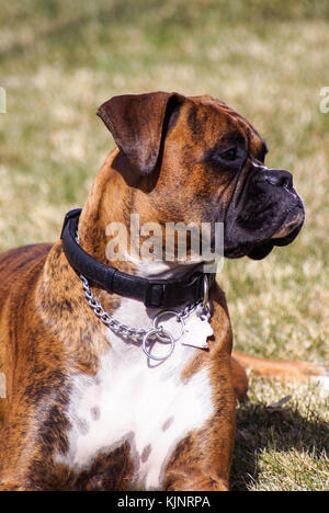 A pedigreed Boxer keeping a close watch on his family as he relaxes in the grass. - Stock Photo