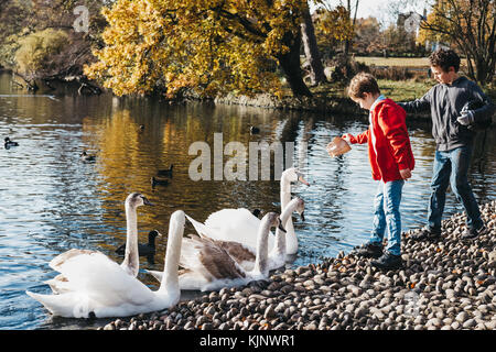 Two young boys feeding swans and ducks in a park. In United Kingdom it an offence to intentionally injure, take - Stock Photo