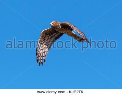 Northern Harrier,Circus cyaneus, female, in flight, Arizona, USA - Stock Photo