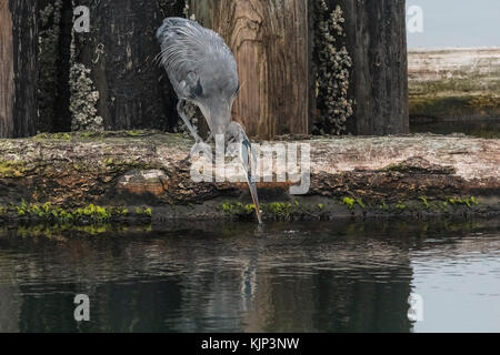 A solitary Great blue heron, leaning down over the water from its perch on a log breakwater, catches a tiny fish - Stock Photo