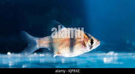 Aquarium fish, Barbus tetrazona - Stock Photo