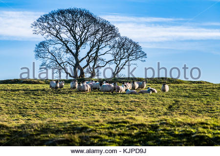 Cessford, Morebattle, Kelso Scottish Borders, UK. 25th Dec, 2017. Black face sheep gather on a freezing but bright - Stock Photo