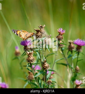 Painted lady butterfly (Vanessa cardui) feeding on thistle in wildflower meadow - Stock Photo