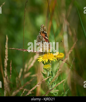 Painted lady butterfly (Vanessa cardui) feeding on yellow flower in wildflower meadow - Stock Photo