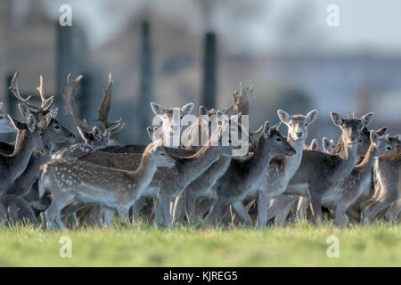 Herd of parkland Fallow Deer(Dama dama)  at Holkham, North Norfolk. - Stock Photo