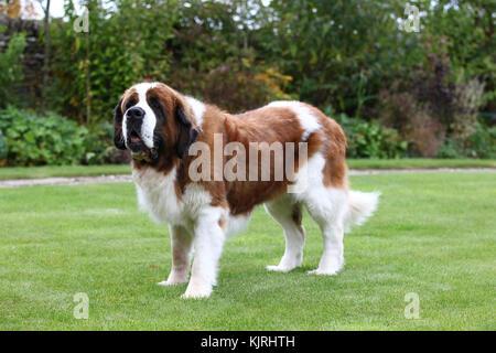 Saint Bernard St. Bernard Alpine Mastiff - Stock Photo