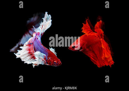 two siamese fighting fish on a black background - Stock Photo