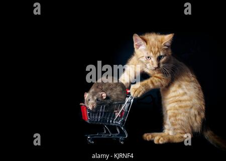 funny tabby cat push a shopping cart with a pet rat in it. - Stock Photo