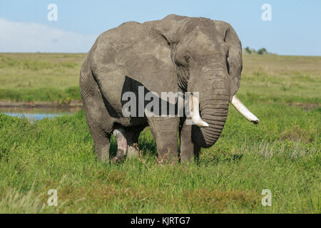 A male African Elephant tusker - Stock Photo