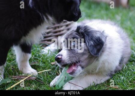Australian Shepherd Puppie Dog Portrait Loveley - Stock Photo