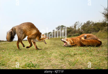 Two red foxes attacking each other and fighting over a territory trying to bite. - Stock Photo