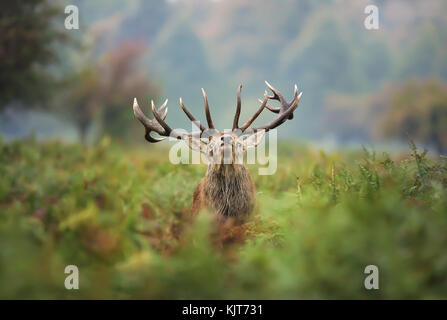Red deer stag during the rut - Stock Photo