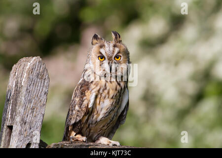 Long - eared owl perching on a post in the countryside in England. Stock Photo