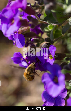 Large Bee-fly feeding on aubrieta - Stock Photo