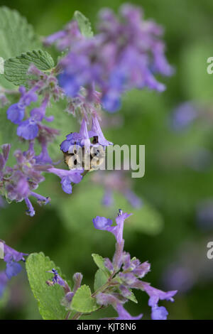 Wooly carder-bee on catnip - Stock Photo