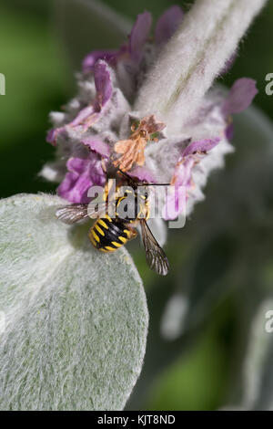 Wool-carder bee on stachys - Stock Photo