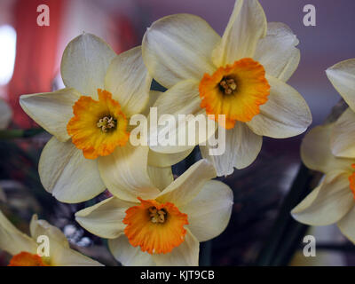 Bouquet of yellow daffodils, one of the symbols of spring - Stock Photo