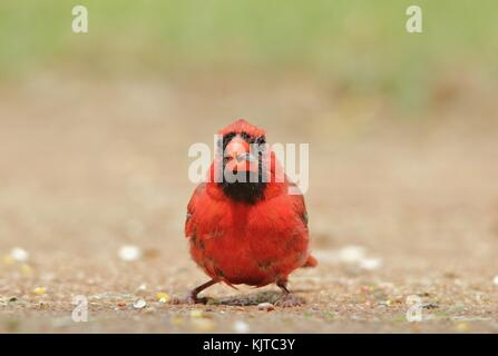 Northern Cardinal - Male of Purest Red - Stock Photo