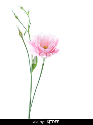 Light pink flower of Eustoma isolated on white background - Stock Photo