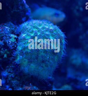 Coral closeup detail under blue led lights - Stock Photo