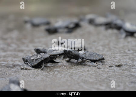 Olive Ridley Sea Turtle hatchlings released during Pawikan Festival,Morong Bataan,Philippines - Stock Photo