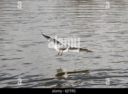 Single gull swooping over lake wing span - Stock Photo