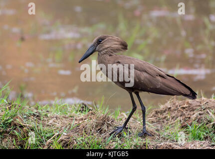 A Hamerkop (Scopus umbretta) foraging in rice paddy. Madagascar, Africa. - Stock Photo