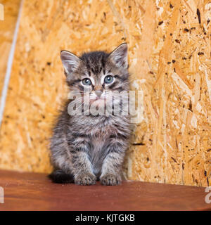 A small gray kitten without a breed sits on a wooden shelf - Stock Photo