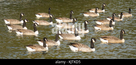 England, Canada Geese on river Thames - Stock Photo