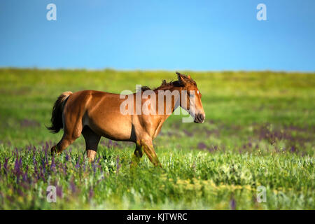 Foal of wild horses grazing on summer meadow - Stock Photo