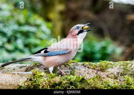 Aberystwyth, Ceredigion, Wales, UK. 26th November 2017. A jay foraging for acorns on a cold wet late autumn day - Stock Photo