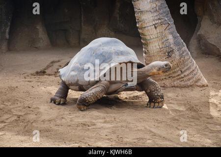 Galapagos Tortoise - gigantae , big turtle - Stock Photo