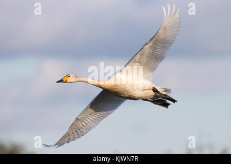 Aerial close up capturing arrival of first Bewick's swan (Cygnus columbianus) in flight, heading to winter at Slimbridge - Stock Photo