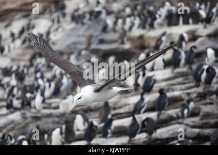 Rockhpper penguins on Saunders Island - Stock Photo