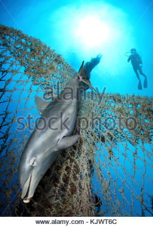 Dead Bottlenose dolphin, Tursiops truncatus, entangled on nylon ropes and lost fishing net. Nylon cables and nets - Stock Photo