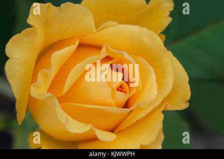 Anika is a golden-yellow hybrid tea rose with a double, borne mostly solitary, high-centered bloom form. It blooms - Stock Photo